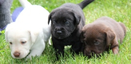 lab-puppies
